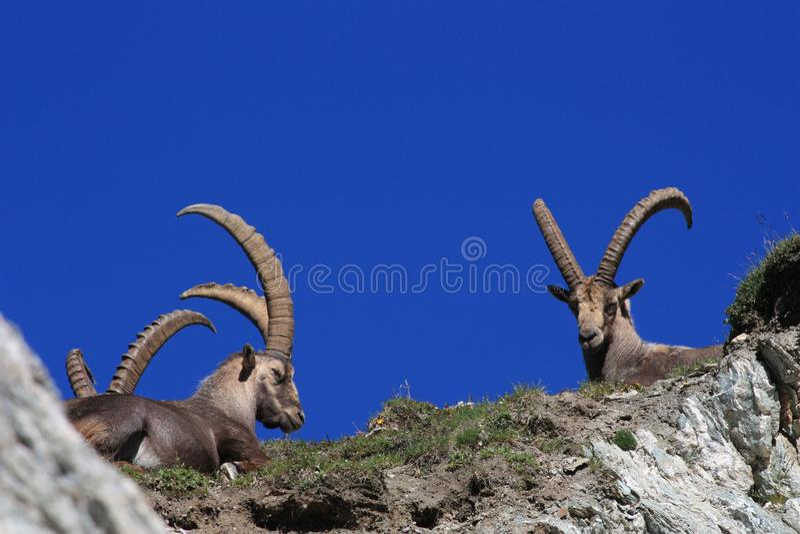 Fauna, Goats, Horn, Barbary Sheep Free Public Domain Cc0 Image