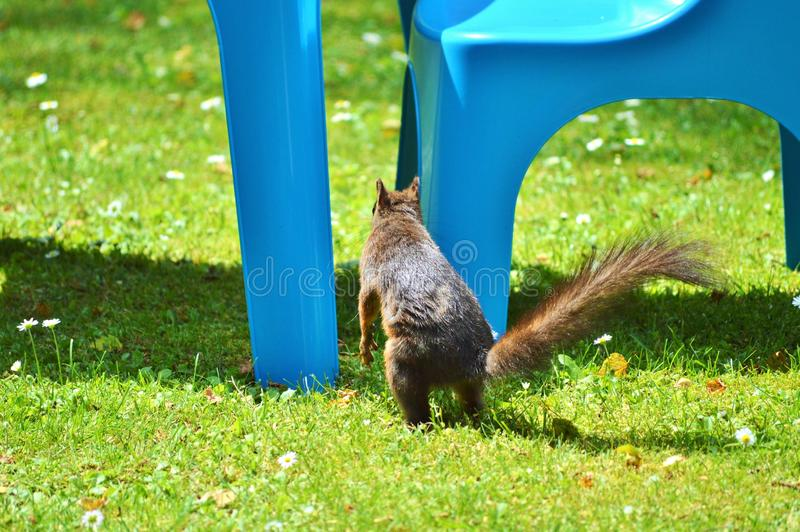 Fauna, Grass, Wildlife, Squirrel royalty free stock photography