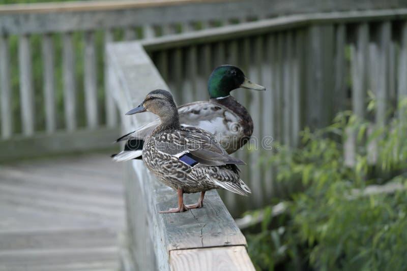 Fauna hembra-varón del pato silvestre de la cerca de los patos fotos de archivo