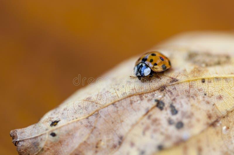 Fauna, insetto, macrofotografia, Ladybird fotografia stock libera da diritti