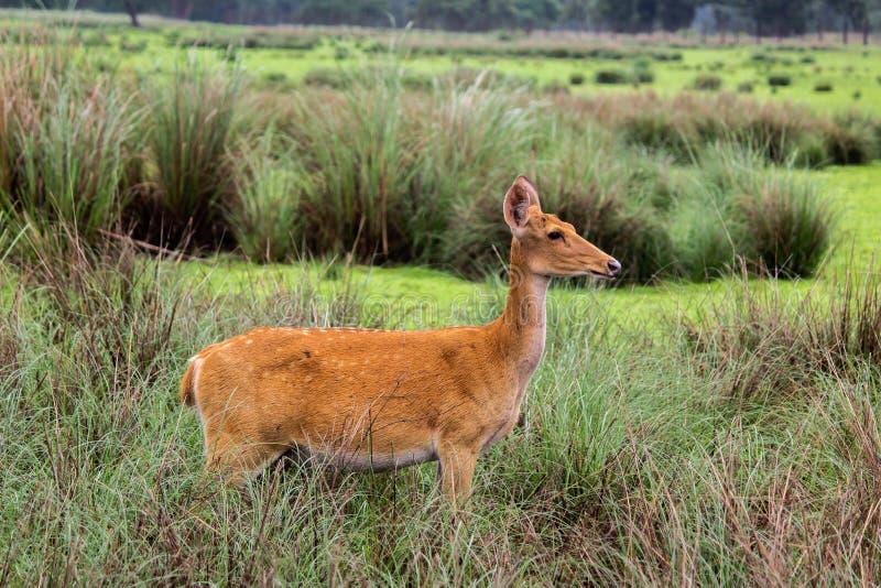 Fauna la India central sanctury de los ciervos fotografía de archivo libre de regalías