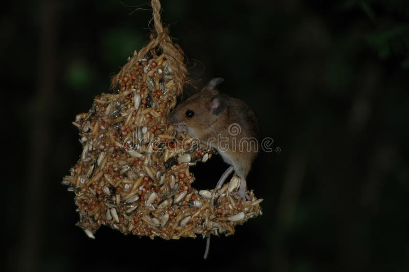 Fauna, Mammal, Mouse, Muridae royalty free stock photography