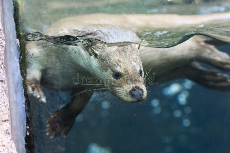 Fauna, Mammal, Otter, Mustelidae Free Public Domain Cc0 Image