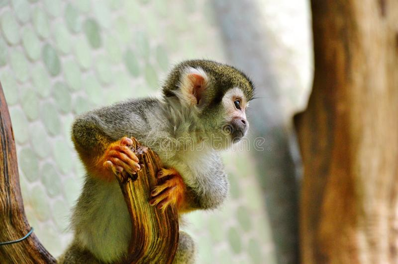 Fauna, Mammal, Primate, New World Monkey stock images