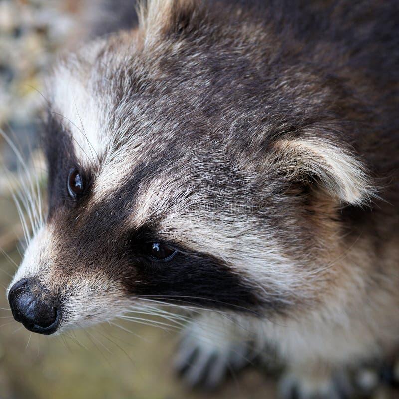 Fauna, Mammal, Raccoon, Wildlife Free Public Domain Cc0 Image