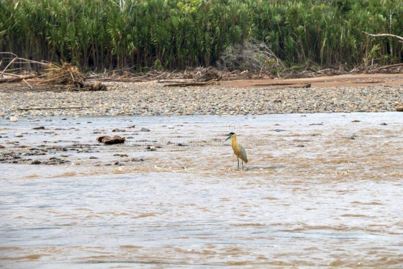 Fauna Nationalparks Madidi, der Amazonas-bassin, Bolivien stockfoto