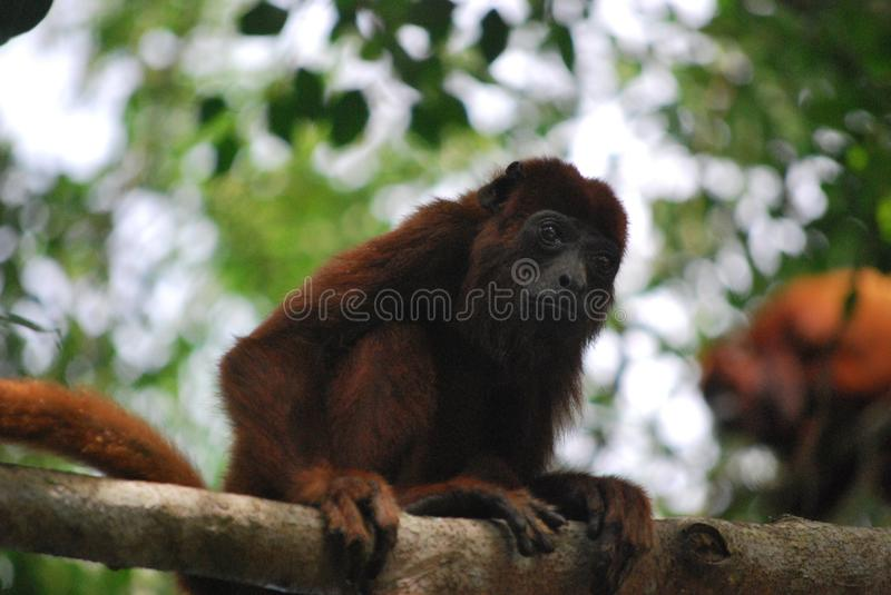 Fauna, New World Monkey, Primate, Terrestrial Animal royalty free stock images