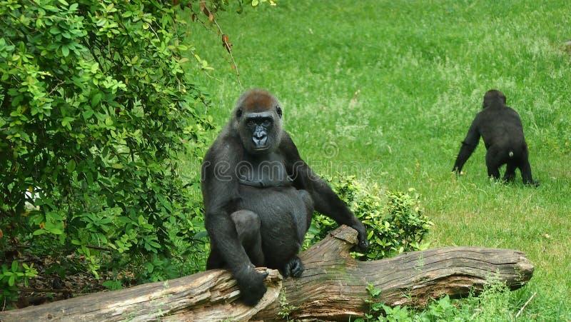 Fauna, Primate, Great Ape, Western Gorilla Free Public Domain Cc0 Image