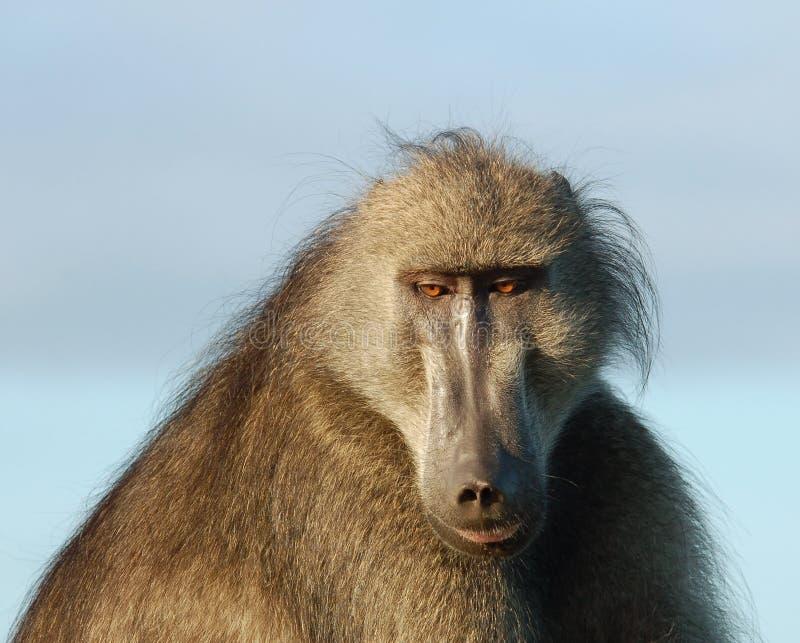 Fauna selvatica Africa: Babbuino fotografia stock libera da diritti