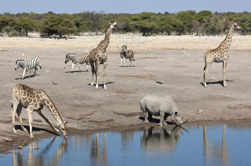 Fauna selvatica africana ad un waterhole nel Namibia immagini stock