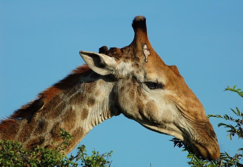 Download Fauna Selvatica Africana: Giraffa In Africa Immagine Stock - Immagine di camelopardalis, chordata: 7300637