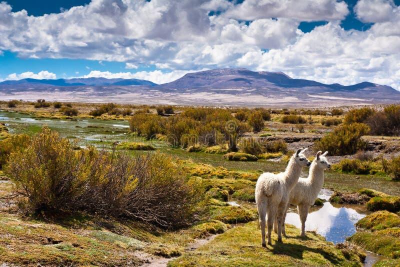 Fauna selvatica boliviana immagini stock