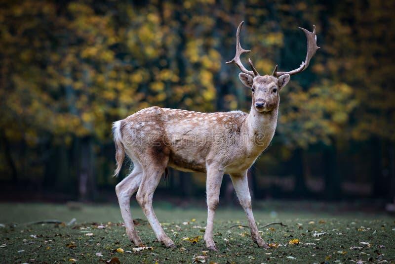 Fauna selvatica, cervo, fauna, mammifero