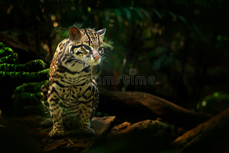 Fauna selvatica in Costa Rica Seduta margay del gatto piacevole sul ramo nel ritratto tropicale costarican del dettaglio della fo immagini stock