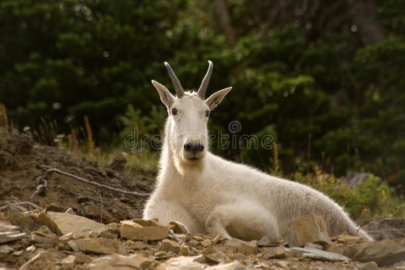 Fauna selvatica del Montana fotografie stock