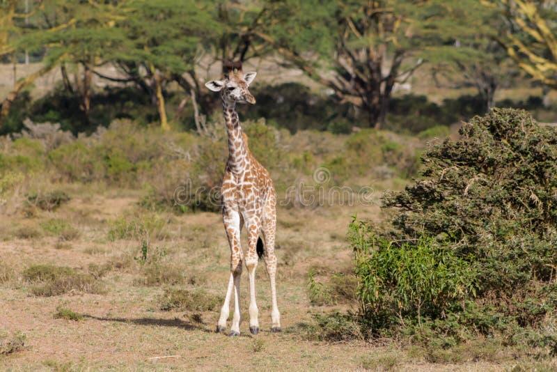 Fauna selvatica dell'Africa, giraffa del bambino in savanna fotografia stock