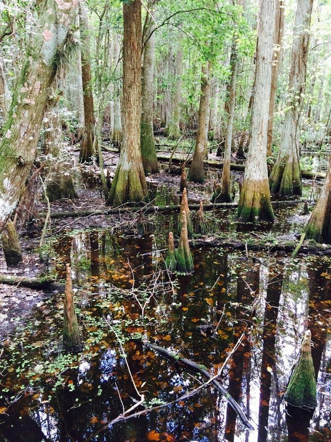 Fauna selvatica dell'albero della natura dei terreni paludosi di Florida bella selvaggia immagine stock libera da diritti