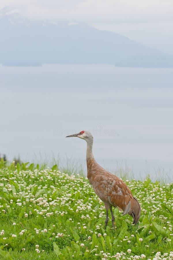 Download Fauna Selvatica Della Gru Di Sandhill Fotografia Stock - Immagine di verde, canada: 55364192