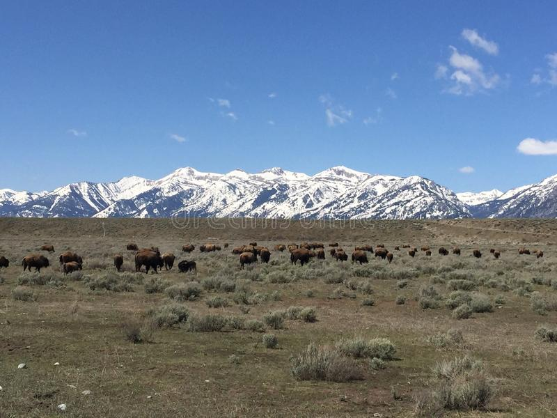 Fauna selvatica della neve delle montagne degli animali della natura fotografie stock