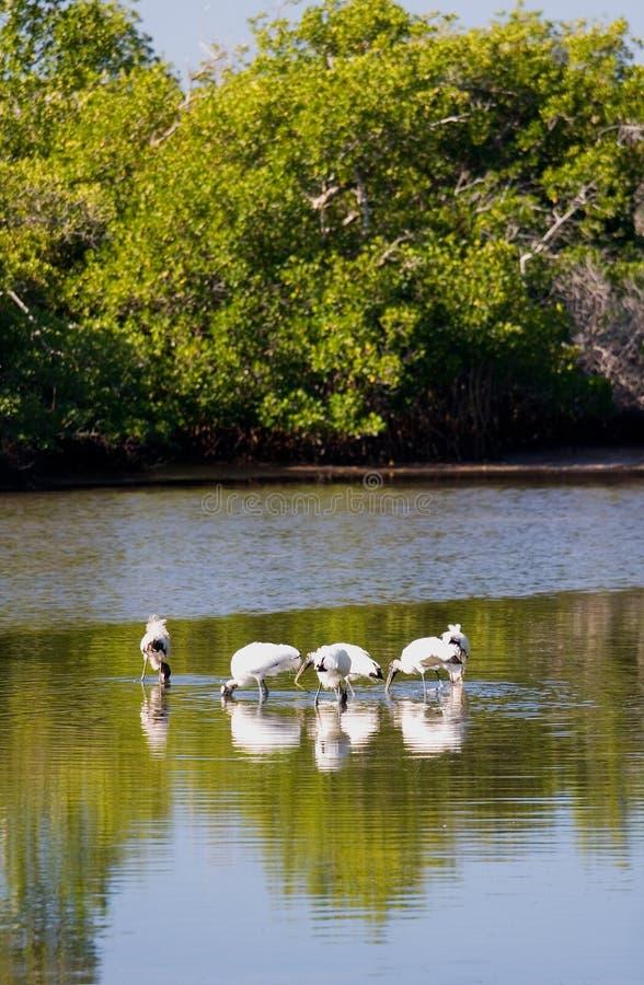 Fauna selvatica delle aree umide immagini stock