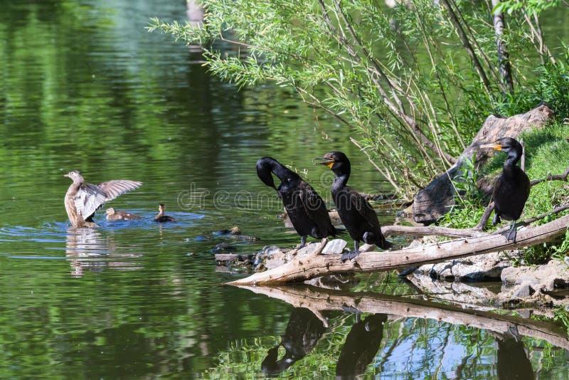 Fauna selvatica di Colorado - legno Duck With Chicks e cormorani riuniti sulla riva di un lago fotografia stock libera da diritti