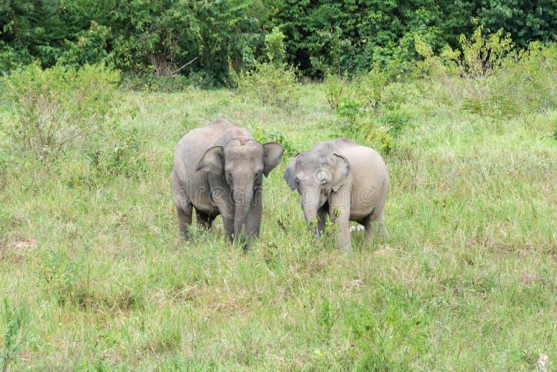 Fauna selvatica di giovane elefante asiatico che mangia erba in foresta immagine stock libera da diritti