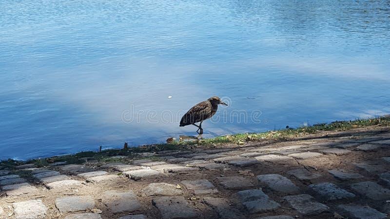 Fauna selvatica di Palermo di regatas di lago del viale fotografia stock