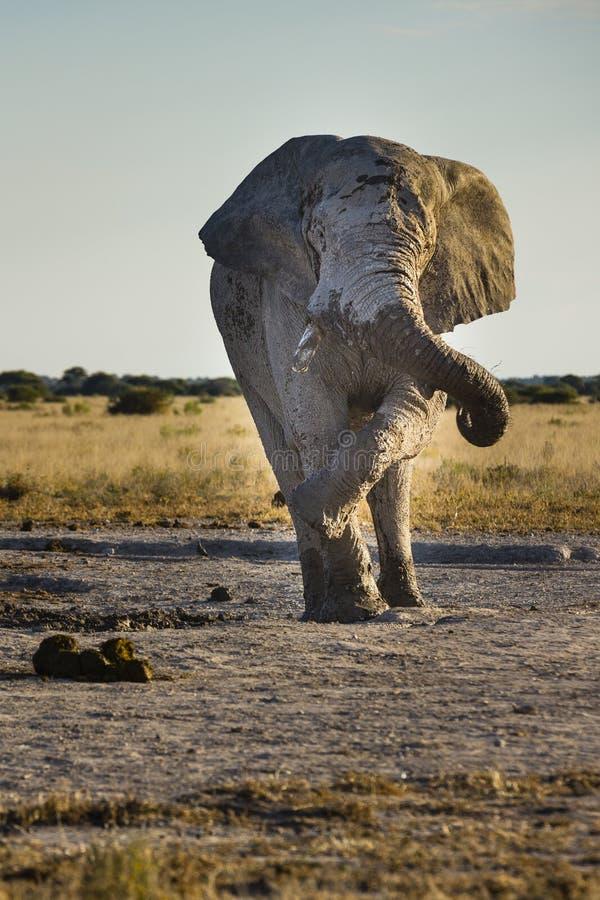 Fauna selvatica in Nxai Pan National Park immagine stock