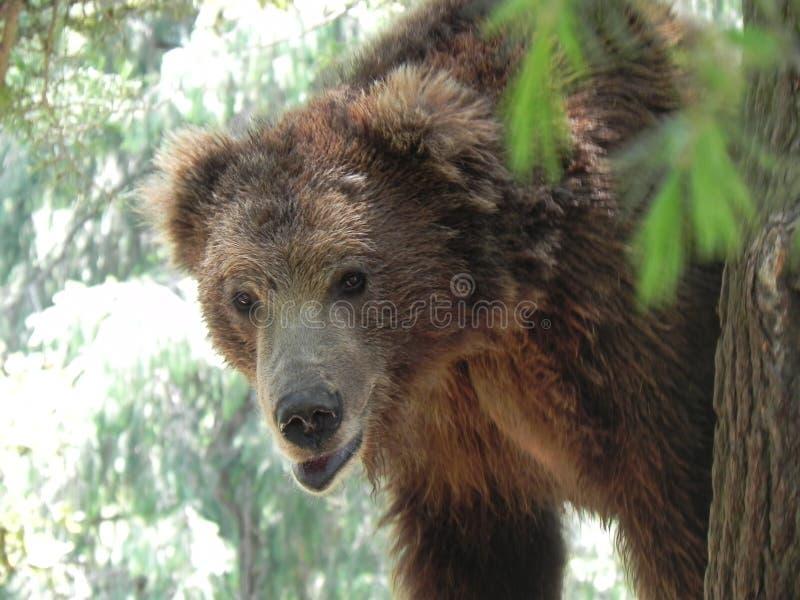 Fauna selvatica - orso bruno immagine stock