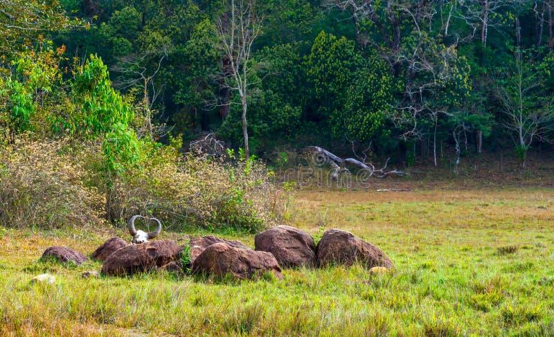 Fauna selvatica Sancturary di Periyar del parco nazionale della foresta pluviale Gaur (Indi fotografie stock