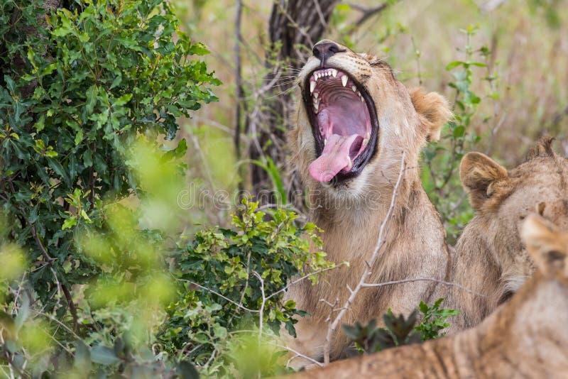 Fauna selvatica sudafricana di sbadiglio del leone fotografia stock libera da diritti