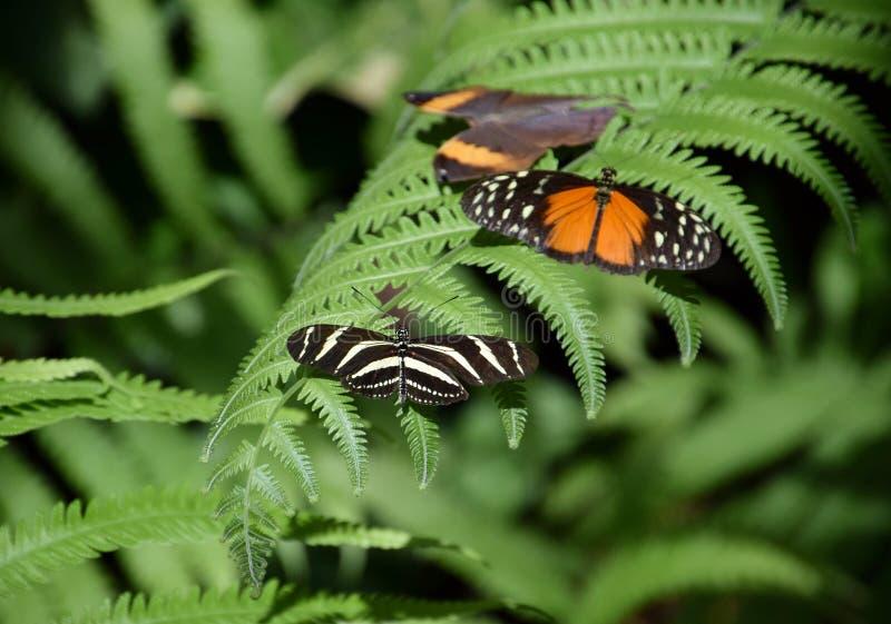 Fauna selvatica tropicale, tre farfalle sulla foglia della felce, becale di heliconius, paralecta di kallima, charitonius di heli fotografia stock libera da diritti