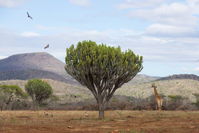 Faune africaine de paysage images libres de droits