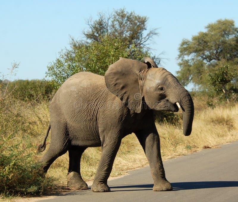 faune d'éléphant africain photographie stock libre de droits