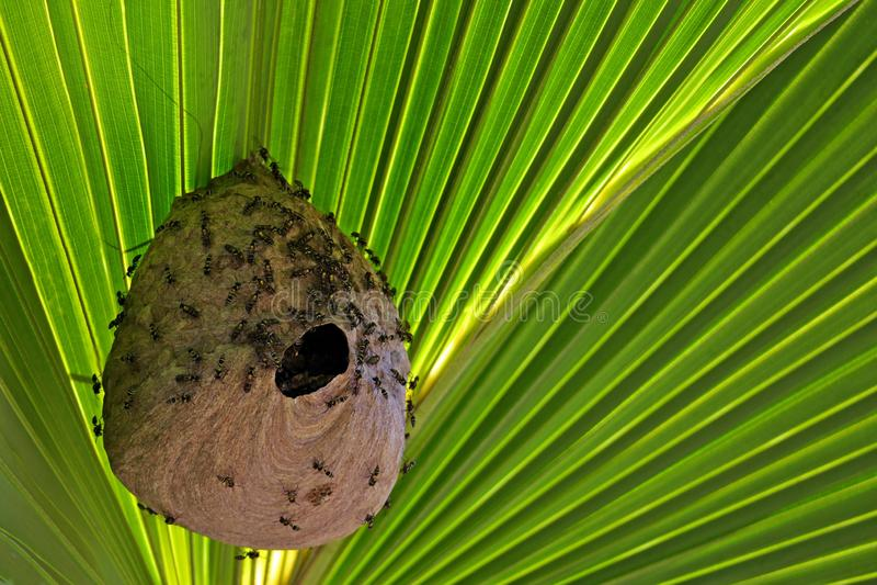 Faune de jungles de Costa Rica de nid de guêpe de papier photo libre de droits