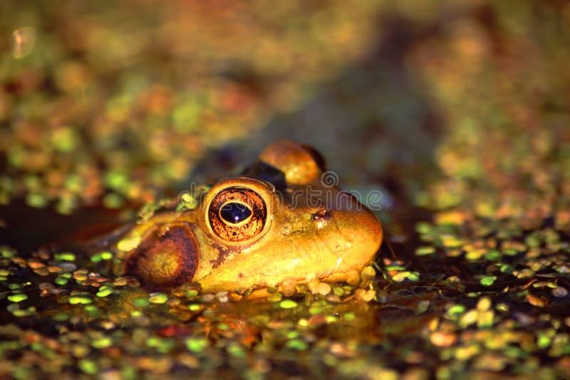 Faune de l'Illinois de grenouille mugissante image stock