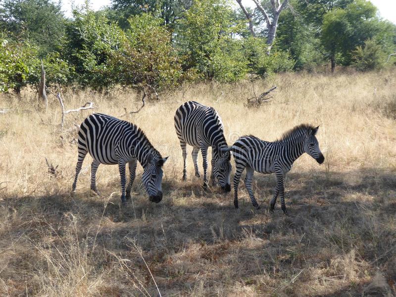 Faune de nature de l'Afrique de safari de la Zambie de famille de zèbre image libre de droits