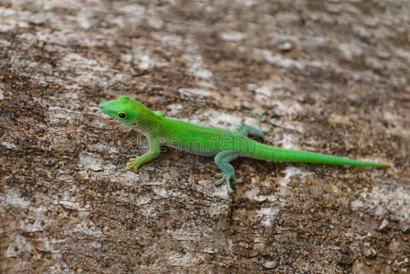 Faune de Phelsuma Madagascar de gecko de jour photo libre de droits