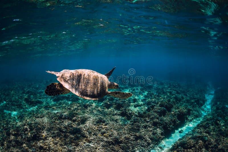 Faune sous-marine avec des animaux Tortue de mer flottant au-dessus du beau fond naturel d'oc?an Tortue de mer verte image libre de droits