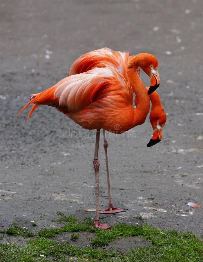 Faune tropicale exotique de flamants d'oiseaux image stock
