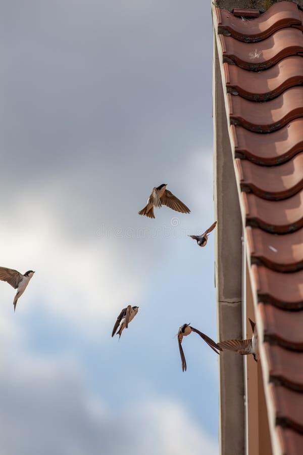 Faune urbaine Chambre Martins alimentant sur des insectes Oiseaux pilotant u image stock