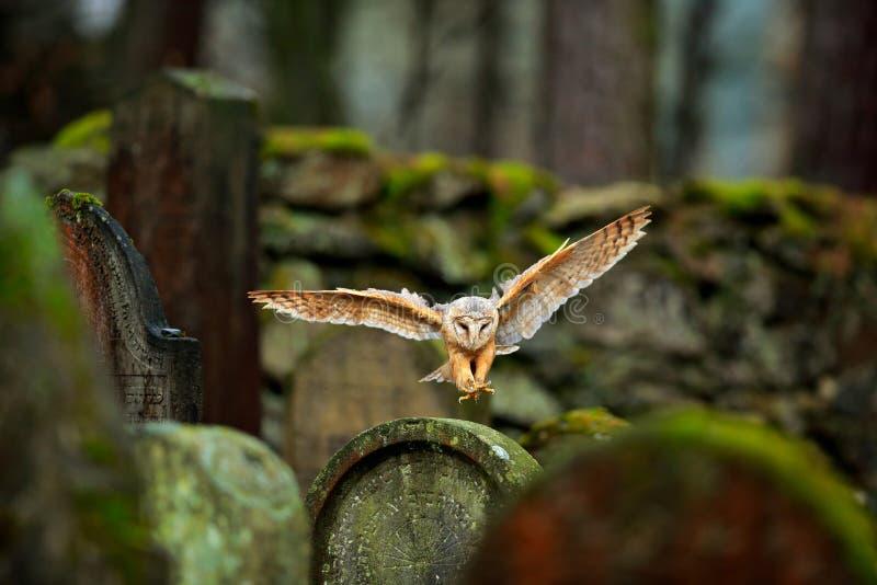 Faune urbaine Hibou de grange magique d'oiseau, Tito alba, volant au-dessus de la barrière en pierre dans le cimetière de forêt N photographie stock libre de droits