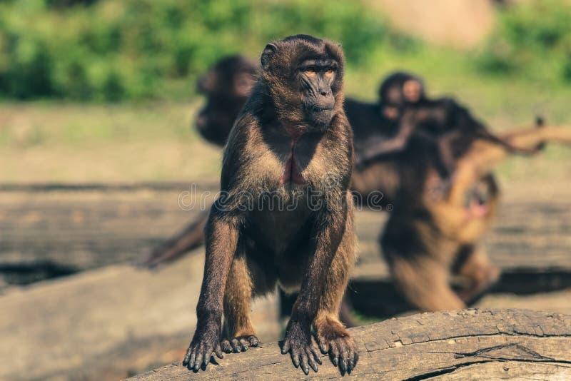 Fauny, ssak, prymas, Nowego światu małpa fotografia stock