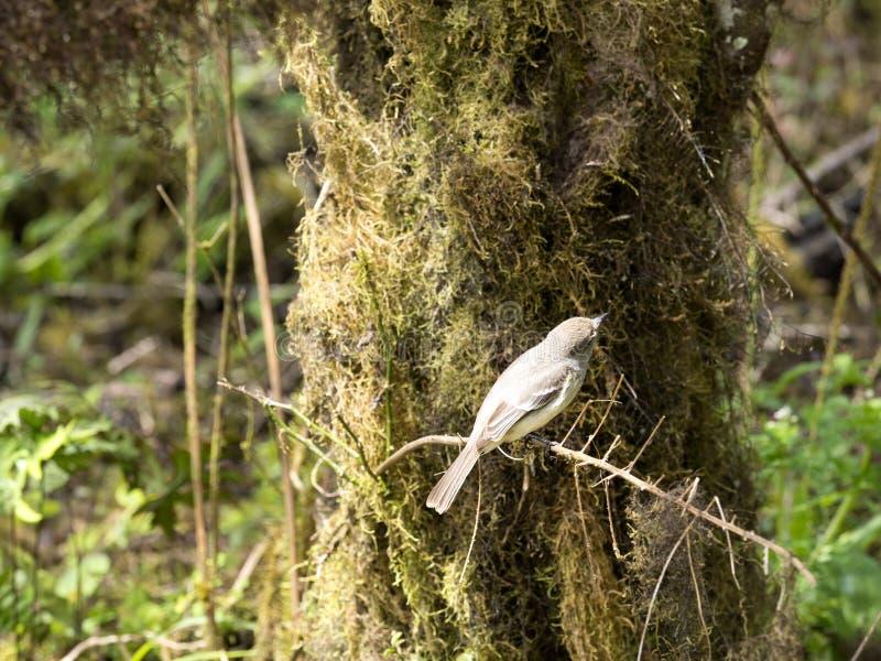 Fauvette de Blackpoll, striata de Dendroica, sur un arbre dans une forêt de montagne, San Christobal, Glapagos, Equateur image stock