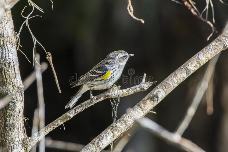 Fauvette throated jaune images libres de droits