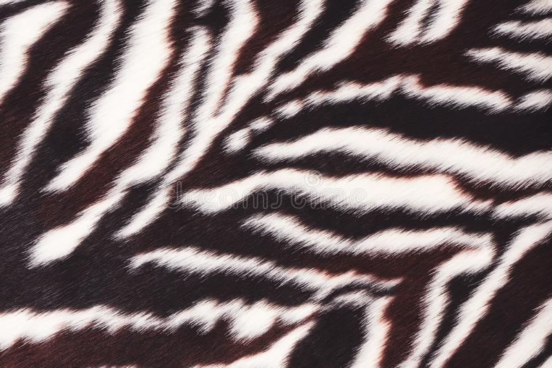 Faux fur with zebra print. Fluffy texture. Faux fur with zebra print. Black and white background. Fluffy surface texture. Fashionable fur coat royalty free stock photos