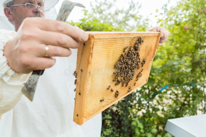 Favo della tenuta dell'apicoltore con le api in sue mani fotografia stock libera da diritti