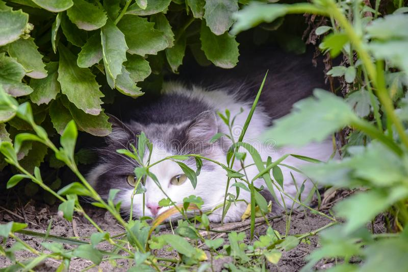 Favorite of the family, gray-white cat with serious and calm look lies on lawn in thickets of grass. The cat is hunter stock photos