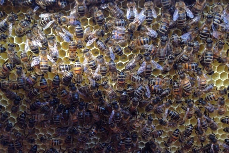 Favos de mel da construção das abelhas em uma colmeia foto de stock royalty free