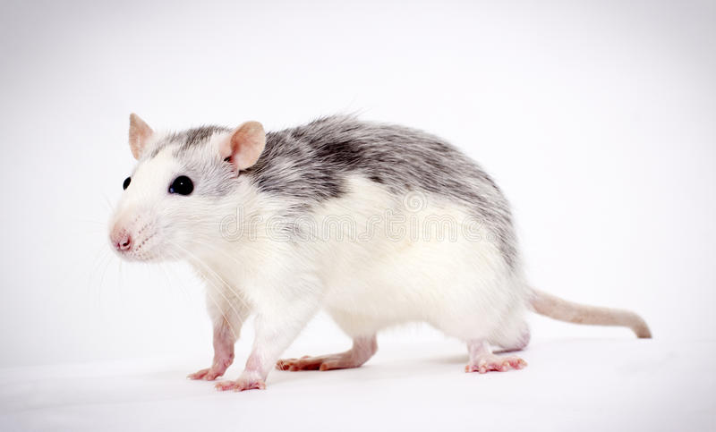 Download Favourite Rat Stock Images - Image: 18274714